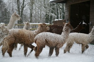 Our alpacas enjoying the snow